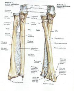 anatomia radio e ulna