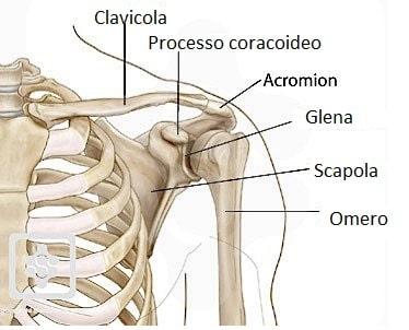 ossa della spalla