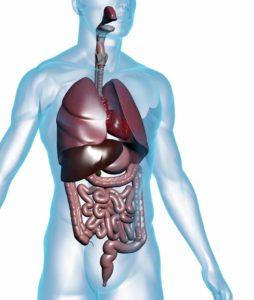 organi viscerali