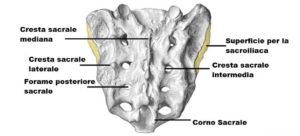 osso sacro anatomia