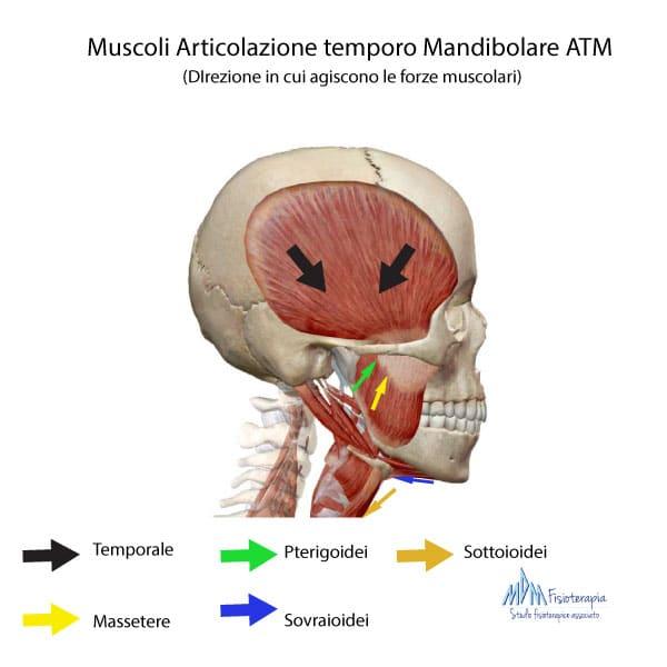 muscoli articolazione temporo-mandibolare