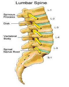 vertebre lombari anatomia