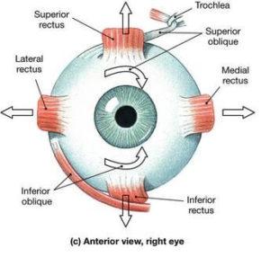 muscoli occhi