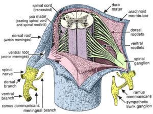 meningi midollo spinale