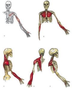 catena muscolare brachiale